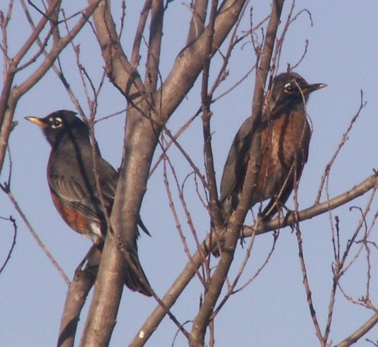 070120-robins-cropped-550
