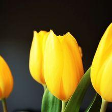 tulip-1031514_640