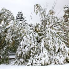 tree-damaged-by-fall-snow-storm-600x400