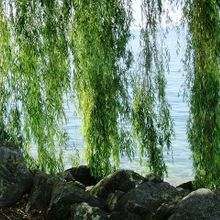 weeping-willow-382140_640