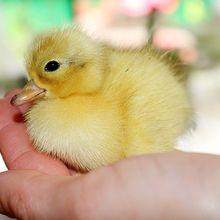 chick-1202577_640