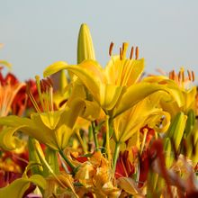 lilies-264093_640