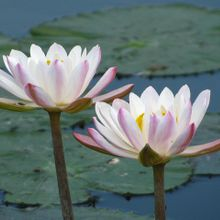 water-lily-450712_640