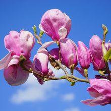 magnolia-324301_640
