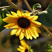 sunflower-62049_640