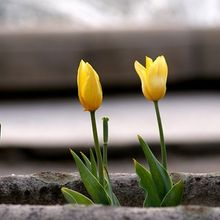 tulips-447602_640