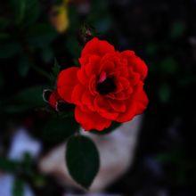 rose-218700_640