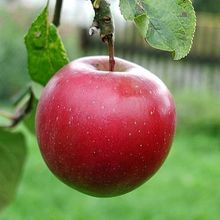 _big-red-apple