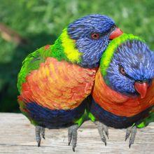 rainbow-lorikeet-334204_640