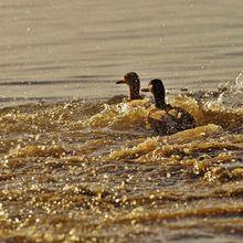 ducks-1114846_640