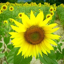 sunflower-840807_640