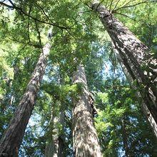 redwoods-937163_640