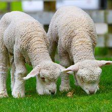 sheep-50914_640