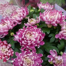 chrysanthemums-bouquet-74949_640