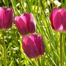 tulip-54125_640