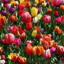 tulips-47399_640(1)