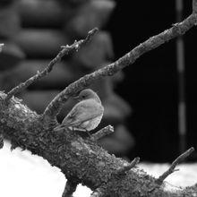 Mountain Bluebird bw