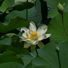 lotus-265779_640
