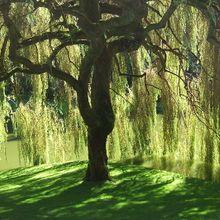800px-Bloedel_Reserve_Willow_Tree