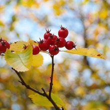 berries-228134_640