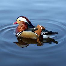 mandarin-duck-775558_640