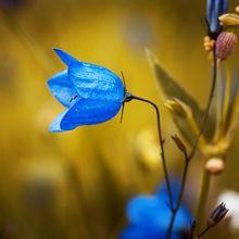round-leaved-bellflower-1576086_640