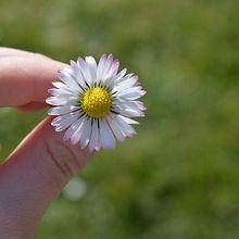 daisy-1288362_640