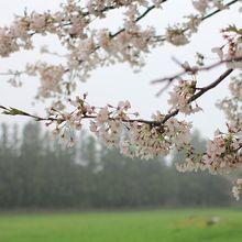 cherry-blossom-855065_640