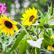 sun-flower-459212_640