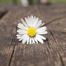 daisy-75191_640(1)
