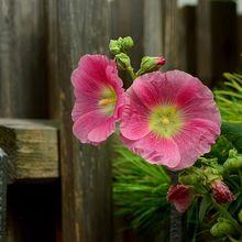 stock-rose-868174_640