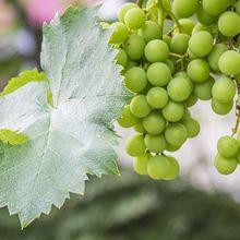 grape-997609_640