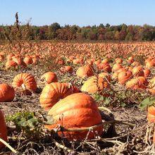 pumpkins-92101_640(1)