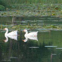 duck-101608_640