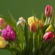 tulips-663113_640