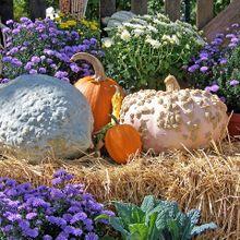pumpkins-19754_640