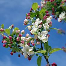 apple-blossom-173566_640