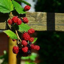 blackberries-936962_640