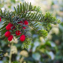 winter-berry