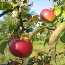 apple-141672_1280