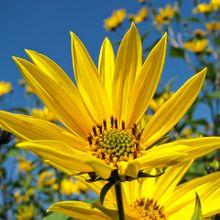sunflower-229729_640