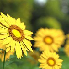 sunflower-1421011_640