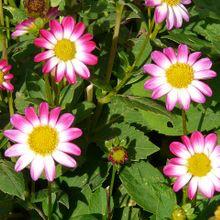 dahlia-garden-61566_640