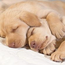 Sleeping-Golden-Retriever-Puppies-Photo-1600x1200