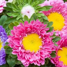 asters-931622_640