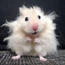 cute-hamster-funny-pictures
