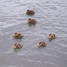 ducklings-15851_640