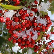 nandina-berries-91995_640