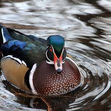 duck-222233_640
