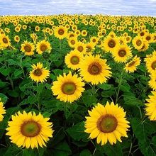 sunflower_640